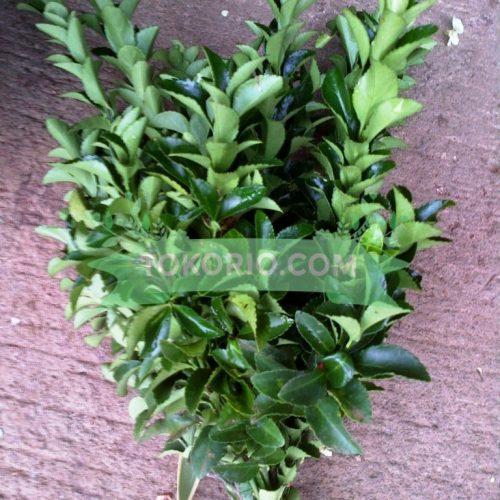 Daun Hias jenis Taiwan Leaf