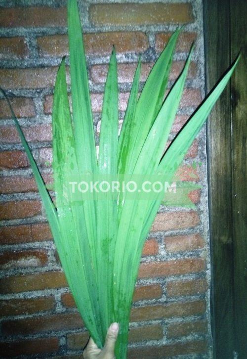 iris, irish, daun hias, daun potong