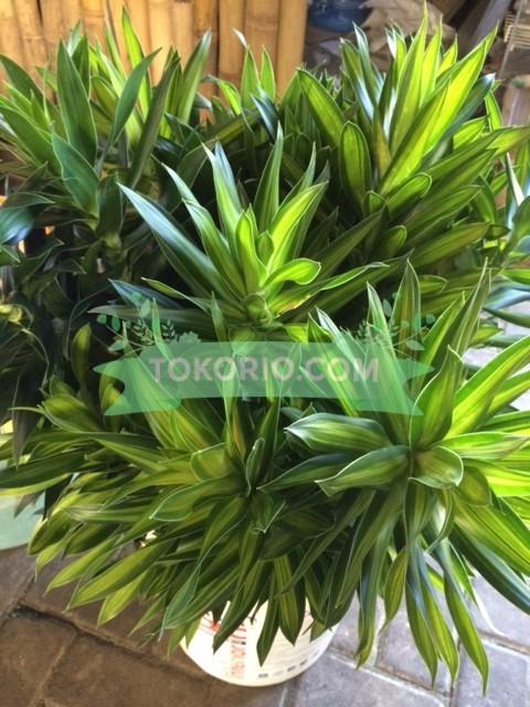 SongOf Jamaica, daun hias, daun potong