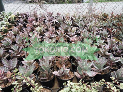 skulen, succulent, pot hias, tanama