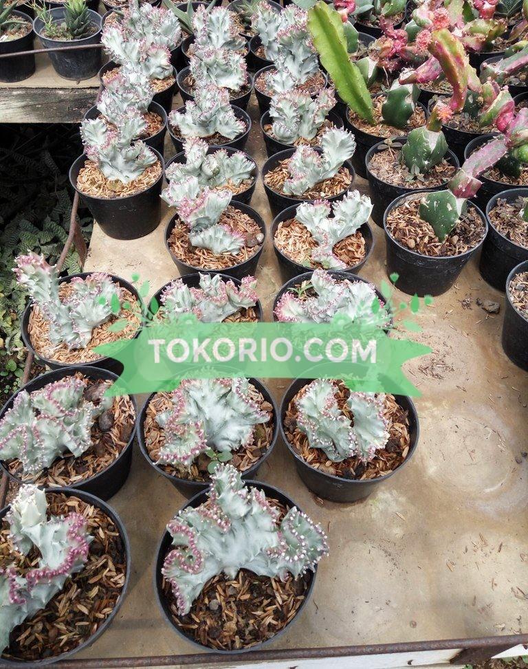 skulen, succulent, pot hias, tanaman