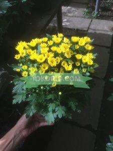 Bunga Krisan Pot